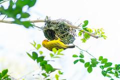 Taveta Golden Weaver (matthewthecoolguy) Tags: tavetagoldenweaver nature white yellow red orange green tree brach leaves sony sonyalpha sonya7rii bird