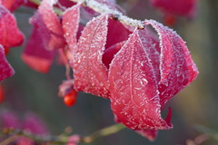 We had a frost last night! (lovesdahlias 1) Tags: frost shrubs foliage nature fall newengland