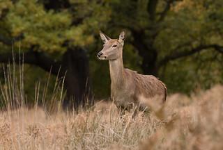 Red-Deer-2300