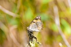 Yellow Pansy (sreejithkallethu) Tags: yellowpansy butterflies butterfliesofkerala nature kollam kerala paravur
