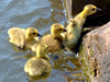 Scramble (Tony Worrall) Tags: capture outside outdoors caught photo shoot shot picture captured uk update place location visit attraction open england english british unitedkingdom stream tour county country duck baby canal wet water cute small fun funny climb swan cygnet yellow feathers scrabble group babies young