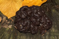 Brain fungus (De Rode Olifant) Tags: brain marjansmeijsters mushroom fungus autumn nature