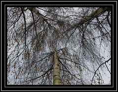 'Leafing' Autumn (M E For Bees (Was Margaret Edge The Bee Girl)) Tags: silverbirch trees windy branches leaves three outdoors sky autumn twigs betula up