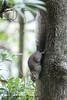 Callosciurus erythraeus (57Andrew) Tags: pallasssquirrel hongkong callosciuruserythraeus sciuridae rodentia tree trunk oldpeakroad