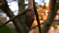 Red Horse Chestnut (Aesculus x carnea) - buds close up - November 2017 (terrencepickles) Tags: red horse chestnut aesculus x carnea buds close up november 2017