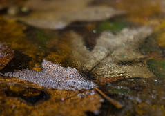 Frozen Fall (tquist24) Tags: indiana nikon nikond5300 autumn bokeh bubbles cold fall frozen ice leaf leaves macro