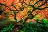 What a Tangled Web! (KPortin) Tags: kubotagarden maple japanesemaple japanesegarden seattle autumn pond