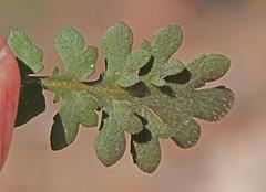 CAD0007313a (jerryoldenettel) Tags: 170402 2017 brassicaceae brassicales derry lepidium lepidiumoblongum nm rosids sierraco veinypepperweed wildflower flower pepperweed