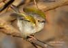 Grey-backed Camaroptera (Camaroptera brevicaudata) (George Wilkinson) Tags: greybacked camaroptera camaropterabrevicaudata vwaza marsh nature reserve northern malawi african bat conservation abc wildlife bird canon 7d 400mm savannah camaropterabrachyura