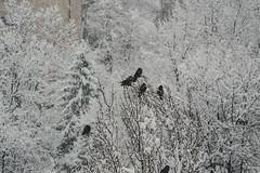 A change of landscape (bluishgreen12) Tags: winter december tree snow birds wildlife ravens branches snowflakes weather sarajevo bosnia herzegovina vintagelens manualfocus vintageprime konicahexar