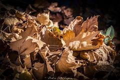 Fuentes del Marques_ 26112017-89 (Pyass2015) Tags: caravaca fuentesdelmarques bosque forrest landscape parque murcia autum otoño
