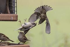Sparrows tumbling....6O3A3293 (dklaughman) Tags: sparrow bird feeder grangeinsuranceauduboncenter columbus ohio