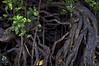 Mangrove (Padmacara) Tags: australia daintree rainforest mangrove plants g11 roots leaves