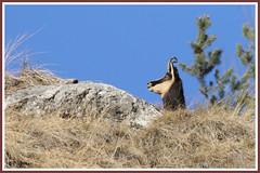 Chamois 171205-02-P (paul.vetter) Tags: rupicaprarupicapra capriné chamois bovidé gamuza gemse mountaingoat