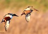 Shovellers on descent (Ted Humphreys Nature) Tags: shovellers ducks tedhumphreysnature