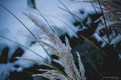 Winter Tales I (janmalteb) Tags: deutschland balve sauerland germany winter schnee snow lake see wasser water flower blume natur nature