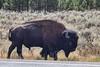 Bison (deepskywim) Tags: bizon zoogdieren dieren yellowstonenationalpark wyoming unitedstates us