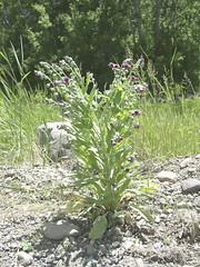 Weeds01.tif (NRCS Montana) Tags: weeds noxiousweeds plants houndstongue