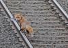 Fox-Sutton-Park-Streetly-1-11-2017 (D1021) Tags: fox railway suttonpark streetley suttoncoldfield birmingham westmidlands nikond300 d300