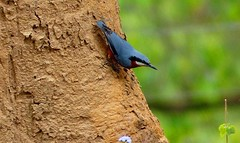 Chestnut-bellied Nuthatch - Western Himalayas (forest venkat) Tags: bird macro wild foret tree wood landscape panoramic wildlife forest panorama plant woods japan animal panoramicview light clouds lakelugano culture damselfly butterfly butterflywatching lugano tiger lion love girl mountainphotography nature shore grassland eagle raptor falcon lifer lovers mountain europe travel europetravel planet earth colorful ring butterflies worm lava photo hill town villagelady tribal parrot parakeet cockatoo bluetit coaltit mashtit yorkshire nikon nuthatch himalayas sanctuary nationalpark reserveforest corbett bush waterbird shorebird kingfisher beeeater pipit flycatcher robin