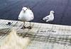 147. JOHNATHAN 2: Concentration (Meili-PP Hua 2) Tags: birds gulls seagulls seabirds waterbirds gull seagull coast coastal marine sea ocean seaside beach seashore avian mlpphfauna bird wildbirds mlpphnature nature