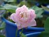 Sacred Lotus 'Fen Ling Long 13' Wahgarden Thailand 002 (Klong15 Waterlily) Tags: lotus thailandlotus flower lotusflower pond pondplant landscape nelumbonucifera