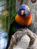 _MG_1068.jpg (Ashley Middleton Photography) Tags: warminster lorikeets rainbowlorikeet unitedkingdom wiltshire bird longleatsafaripark england parrot europe animal