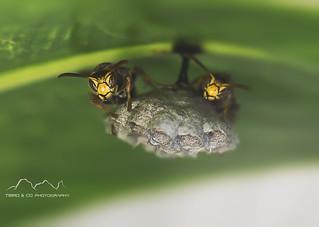 Wasps Macro