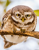 Spotted owl (Mohsan Raza Ali Baloch) Tags: nature mohsan mohsans raza ali pakistan islamabad