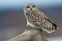 Short-eared Owl on a branch (Earl Reinink) Tags: owl raptor bird animal earl reinink earlreinink shortearedowl uhtduutdha