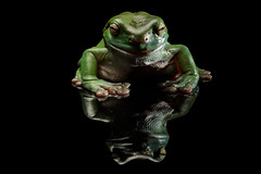 """Green Tree Frog • <a style=""""font-size:0.8em;"""" href=""""http://www.flickr.com/photos/82070262@N02/26736146449/"""" target=""""_blank"""">View on Flickr</a>"""