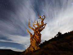 Bristlecone Pine at Moon Rise (Jeff Sullivan (www.JeffSullivanPhotography.com)) Tags: ancient bristelecone pine forest inyonationalforest trees deathvalley nationalpark california usa landscape nature travel photography canon eos 6d roadtrip photo copyright 2017 jeff sullivan allrightsreserved whitemountains tree inyo national bishop inyocounty easternsierra