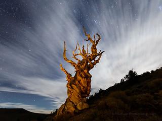 Bristlecone Pine at Moon Rise