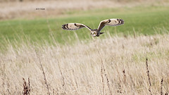 Short-eared Owl (featherweight2009) Tags: shortearedowl asioflammeus owls raptors birdsofprey birds