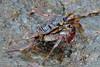 Mirissa - Rock Crab (Drriss & Marrionn) Tags: travel srilanka ceylon southasia outdoor seaside tropics mirissa coastline coast sea sand water tropical crab rockcrab macro