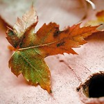 Autumn Blaze thumbnail