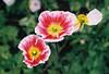 Poppies (Katie Tarpey) Tags: poppies flowers bokeh depthoffield green nature film 35mm nikonfm10 nikkor50mm14 agfa agfavistaplus400
