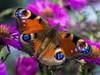 Peacock Butterfly (Of Light & Lenses) Tags: macro peacockbutterfly pfauenauge schmetterling olympus naturemacro butterfly colors zuiko olympus2860mmmacro mzuiko60mm
