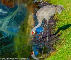D03_3548 (mylesfox) Tags: bird crane heron lake drinking