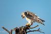 Black Shouldered Kite (mayekarulhas) Tags: krugerpark mpumalanga southafrica za krugernationalpark kite blackshouldered canon500mm canon bird avian africa safari