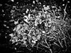 (georgekells) Tags: hydranga flower leaves stems dying structure details garden plant horticulture grass foilage winter cold snow frost ice bokeh blackandwhite monochrome bleak uncropped decay death renewal