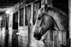 (Jen MacNeill) Tags: bnw blackandwhite no eye horse injured equine horses rescue spooky bw stable farm mood