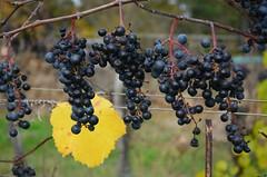 Mörbisch am Neusiedler See (anuwintschalek) Tags: nikond7000 d7k 18140vr austria burgenland neusiedlersee mörbisch mörbischamsee sügis autumn herbstfarben herbst autumncolours sügisvärvid november 2017 viinamarjad viinamarjaistandik weinberge vineyard weintrauben weingebiet