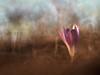 Al caer la tarde (luisotespi68) Tags: quitameriendas bulbosas flores flor flora flower flowers sunset atardecer ocaso vegetación naturaleza olympus penf chinon autochinon 50mm f14 bokeh desenfoque fondo