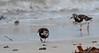 Ruddy turnstone / Steenloper (Kees Waterlander) Tags: verenigdkoninkrijk mainlandshetland steenloper shetland arenariainterpres greatbritain grootbrittannië ruddyturnstone uk
