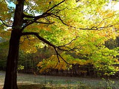 pretty autumn leaves (angelinas) Tags: autumnleaves autumn fall trees nature parks arbres arbeli landscapes paesaggio paysages natura naturaleza bright vivid yellow colors