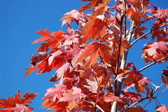Leaves And Sky. (dccradio) Tags: lumberton nc northcarolina robesoncounty outdoors outside morning goodmorning fall autumn harvest nikon d40 dslr sky bluesky nature natural tree trees foliage autumnfoliage fallfoliage maple mapletree youngmaple redleaves redleaf redmapleleaf