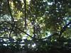 """Sub vites"" (ruta / рута) Tags: grapevine light foliage urbannature"