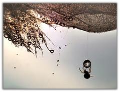 PB112458e (BUMBI61) Tags: macro spider ragno ragni spiders drop drops droplet droplets