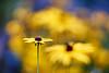 The Language Of Dreams (matt.kueh) Tags: flower plant blume rudbeckia bokeh bokehlicious colors colorful vintagelens manualfocus m42 depthoffield helios40285mmf15